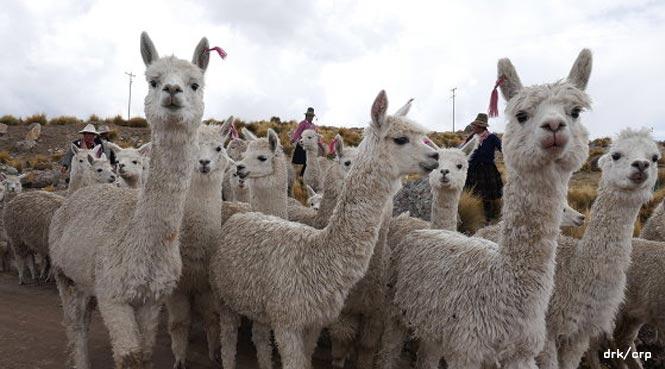 Alpakazüchter in Peru